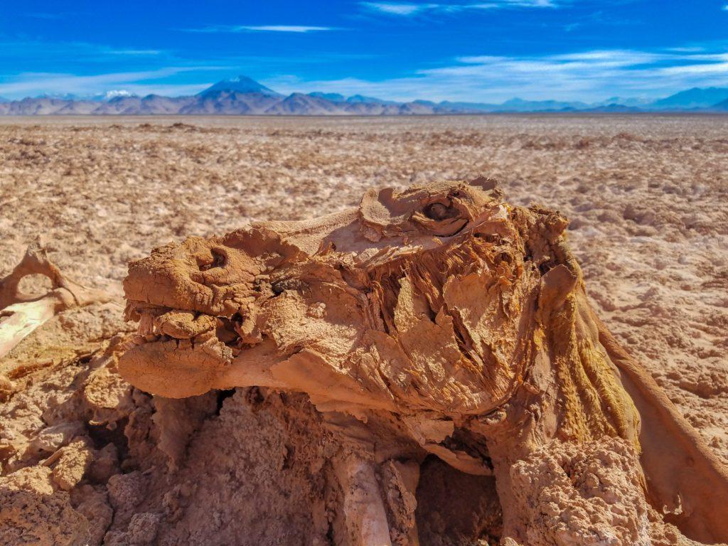 Mummified horse in the Atacama Desert